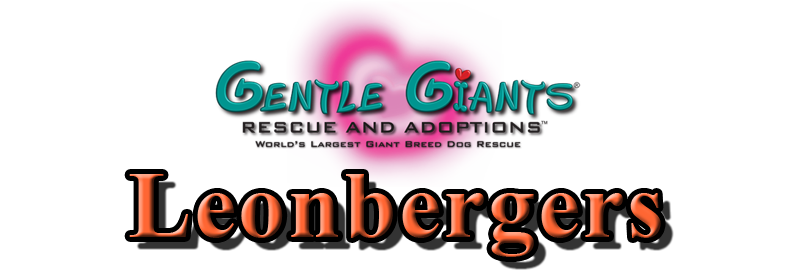 Leonbergers at Gentle Giants Rescue and Adoptions